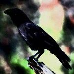 Learn about the Hawaiian Crow through this video.