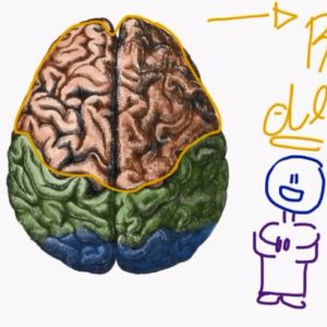 Learn about the cerebral lobes.