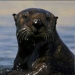 Learn about otters and their role as a keystone species.